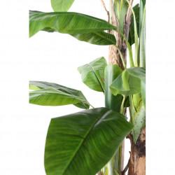 Bananier  240cm + POT